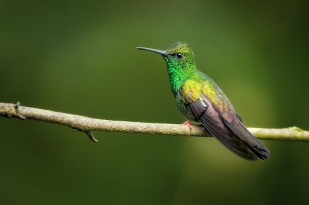 Hummingbird - bird, colibri, green, cute, pasari, hummingbird