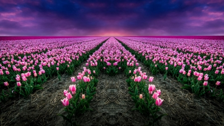 Endless Rows of Tulips - tulips, rows, pink, endless, holland