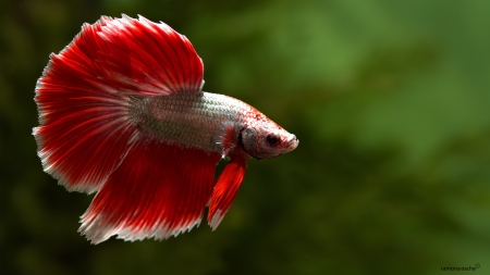 Betta Fish - Fish, Betta, Red, Aquarium