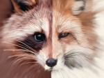 Raccoon /Fox