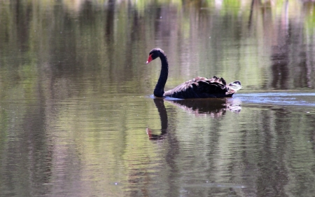 Black Swan - black, water, swan, bird, swimming