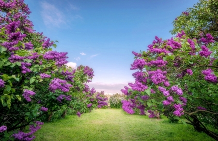 Blooming lilac garden - garden, lilac, violet, Blooming, nature