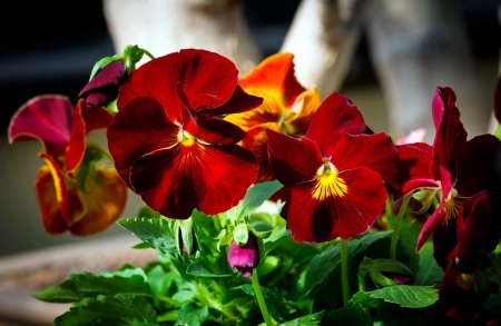 Red pansies - red, pretty, pansies, flowers, garden, spring, beautiful