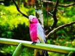 Pink Parrot
