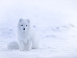 Cute Snow Fox