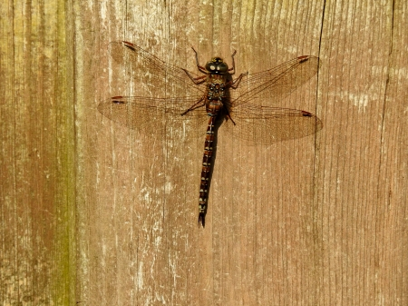 Dragonfly - Dragonfly, Animal, Photography, Summer, Wood