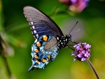 blue pipevine swallowtail