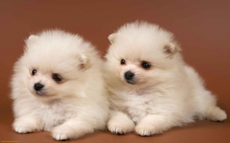cute puppies - animal, canine, dog, puppy