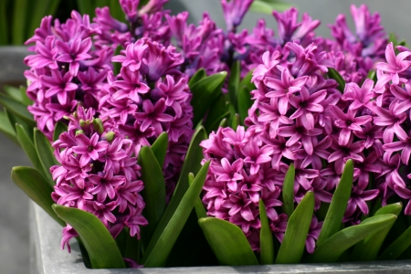 Hot Pink Hyacinths - hyacinths, pretty, pinl hot, beauty, flowers, spring, nature, winter, photography