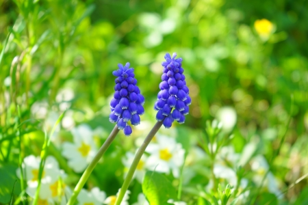 Two hyacinths - hyacinths, fresh, HD, spring, grape, 4K, green, purple, flowers, garden, nature, white, chi