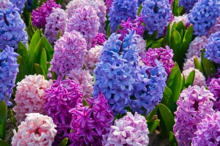 Pretty hyacinths - pretty, lilac, photography, flowers, colors, nature, pink