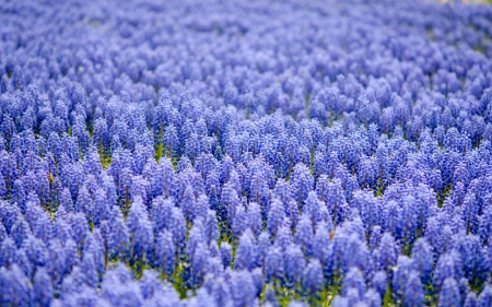 A field of grape hyacints - nature, purple, field, pretty, grape hyacinths, flowers
