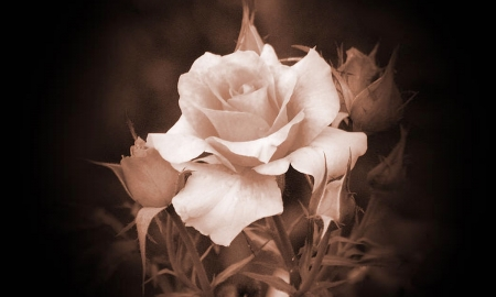 I'm a Beautiful Rose - Softness, sepia, Rose, flowers, browns, beauty