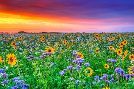 Field at sunset - field, colorful, summer, flowers, sunset, beautiful, spring