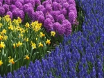 Daffodils, hyacinths and muscari (grape hyacinths)
