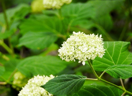 Pretty Hydrangea - Summer  Hydrangea, Flowers, Nature, Summer, Hydrangea, Photography