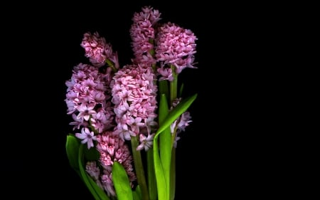 :-) - flower, black, hyacinth, white, HD
