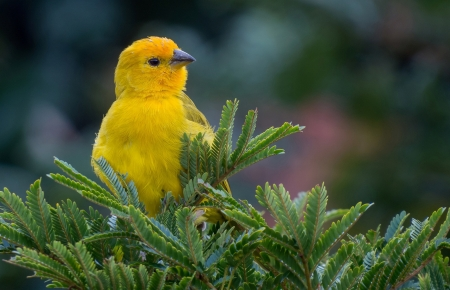 Canary - canar, bird, green, yellow, pasari, fir, canary