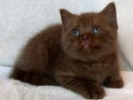 British Chocolate Kitten
