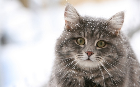 Another Stray Cat - stray, cat, snow, winter