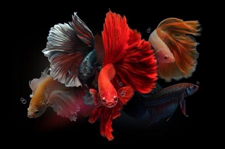 koleksi terbaik ikan laga di Malaysia