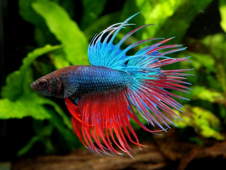 Betta Fish - Fish, Betta, Red, Aquarium, Blue