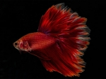 Red Betta Fish