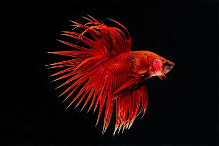 Red Betta Fish - Fish, Betta, Red, Aquarium