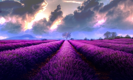 Storm Clouds Over Lavender Field - lovely, lavender field, purple, awesome, nature, sky, clouds, Storm