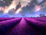 Storm Clouds Over Lavender Field