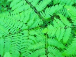 Beautiful Forest Ferns