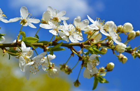 Spring blossoms - blossoms, beautiful, scent, spring, flowering, blooms, branch, sky