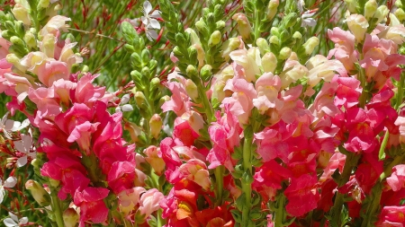 Pretty snapdragons - Blossoms, Flowers, Snapdragons, Nature