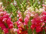 Pretty snapdragons