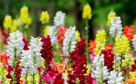 Colourful snapdragon flowers