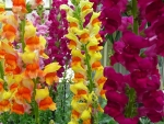 Lovely snapdragons