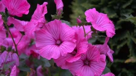 Hollyhocks - nature, pink, hollyhocks, summer, flowers, garden