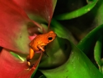 FROG IN BROMELIAD
