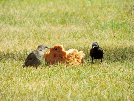 Sharing Bread - Summer, Bread, Grass, Photography, Animals, Birds
