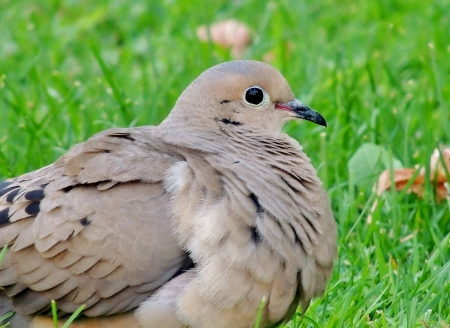 Morning Dove - Summer, Morning Dove, Bird, Grass, Photography