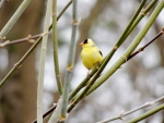 American Goldfinch In The Spring
