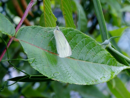Cabbage White On A Leaf - Leaf, Butterfly, Summer, Animal, Cabbage White, Photography