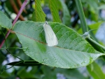 Cabbage White On A Leaf