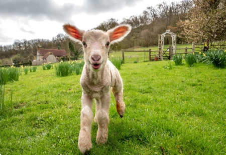 Day-old lamb - Lamb, Sheep, Exploring, Sussex, 20 March 2019, England