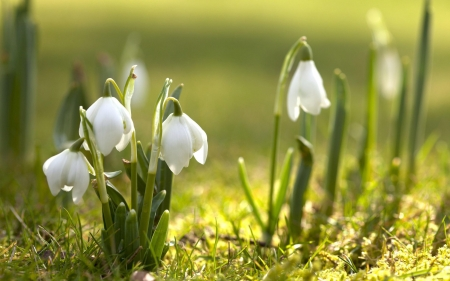 Spring and snowdrops - Spring, Flowers, Grass, Sunshine