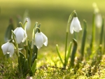 Spring and snowdrops