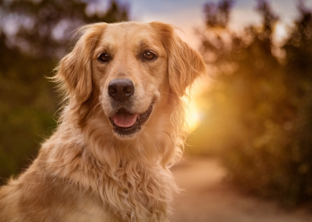 Golden retriever - caine, animal, dog, golden retriever