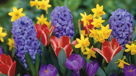 Springtime in the garden - Crocus, Tulip, Hyacinth, Daffodil, Spring flowers, Flowers