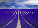 Purple Lavender Field Provence France