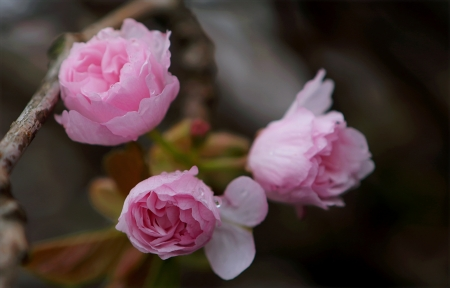 Dainty rose - pretty, romantic, soft, pink, roses, delicate, dainty